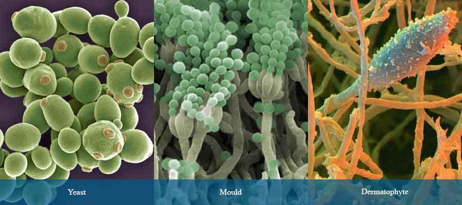 Microorganisms of pharmaceutical interest: Fungi