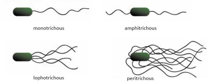 Bacterial Cell Structure and Function: Arrangement of flagella on the surface of bacterial cells