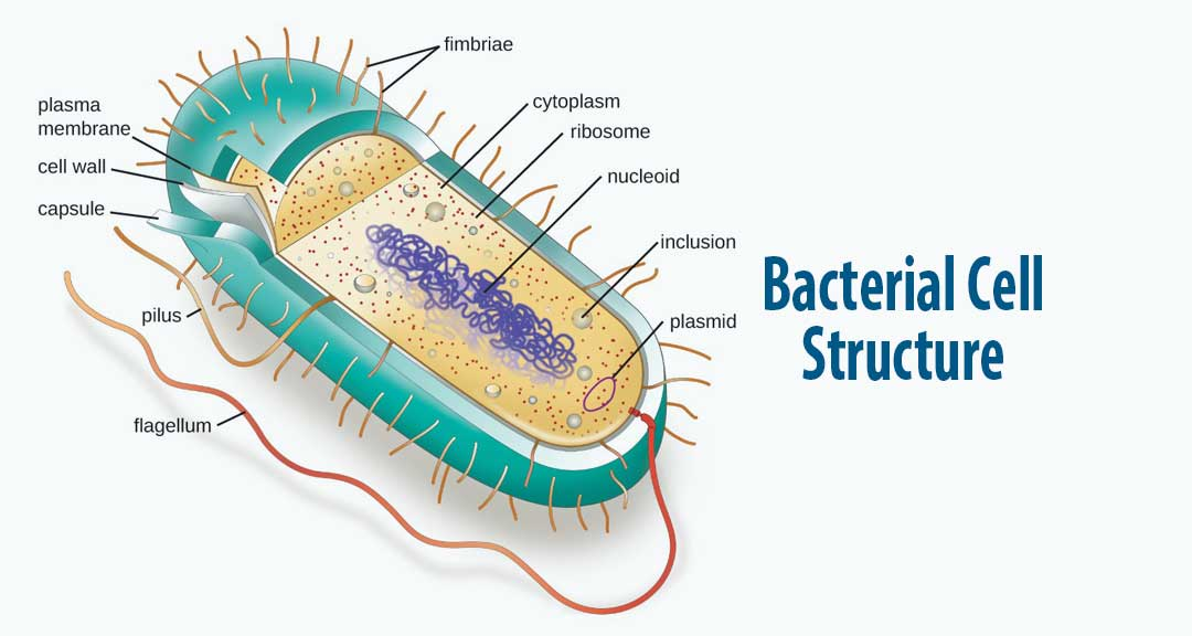 Featured image for Bacterial Cell Structure and Function